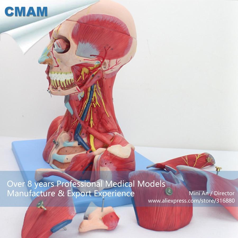 12030 CMAM MUSCLE07 HumanHead Anatomía y Cuello con Vasos, los ...