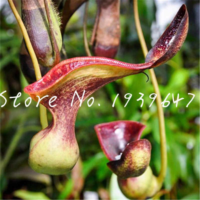 200 pcs נדיר אקזוטי Nepenthes בונסאי, אכילה יתושים צמחים טורפים, טרופי כד נדיר חרקים לתפוס עסיסי גן