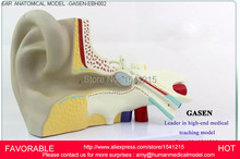 NASAL ANATOMIC MODEL ,ENT MEDICAL NASAL ANATOMICAL MODEL, MUZZLE NOSE CAVITY STRUCTURE MODEL,EAR NOSE THROAT MODEL,-GASEN-EBH002