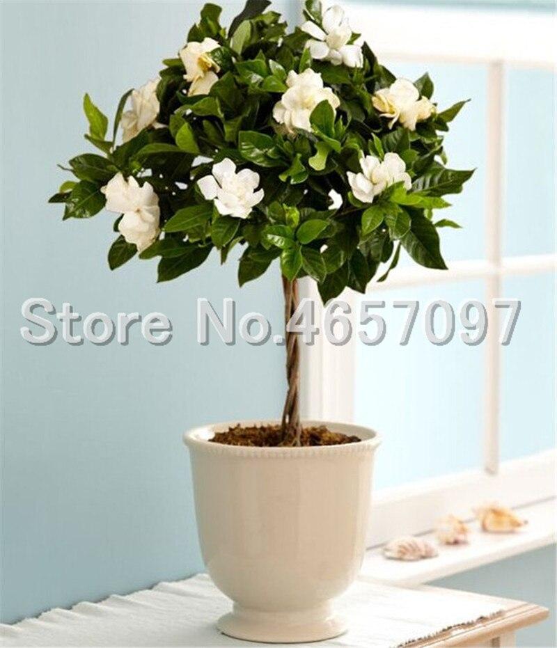 200 Pcs/ Bag Bonsai Gardenia Jasminoides Flower Outdoor Fragrant Flowers White Cape Jasmine Blooming Flore For Home Pot Planters