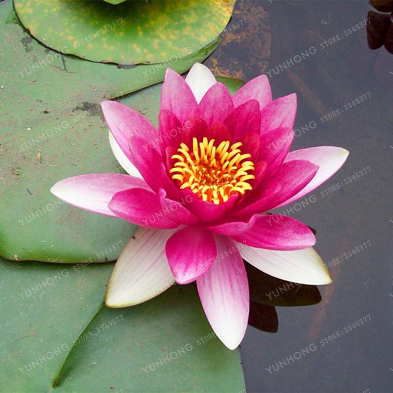 5 Pcs/Bag Lotus Flower Lotus Bonsai Aquatic Plants Bowl Lotus Water Lily Bonsai Perennial Plant For Home Garden