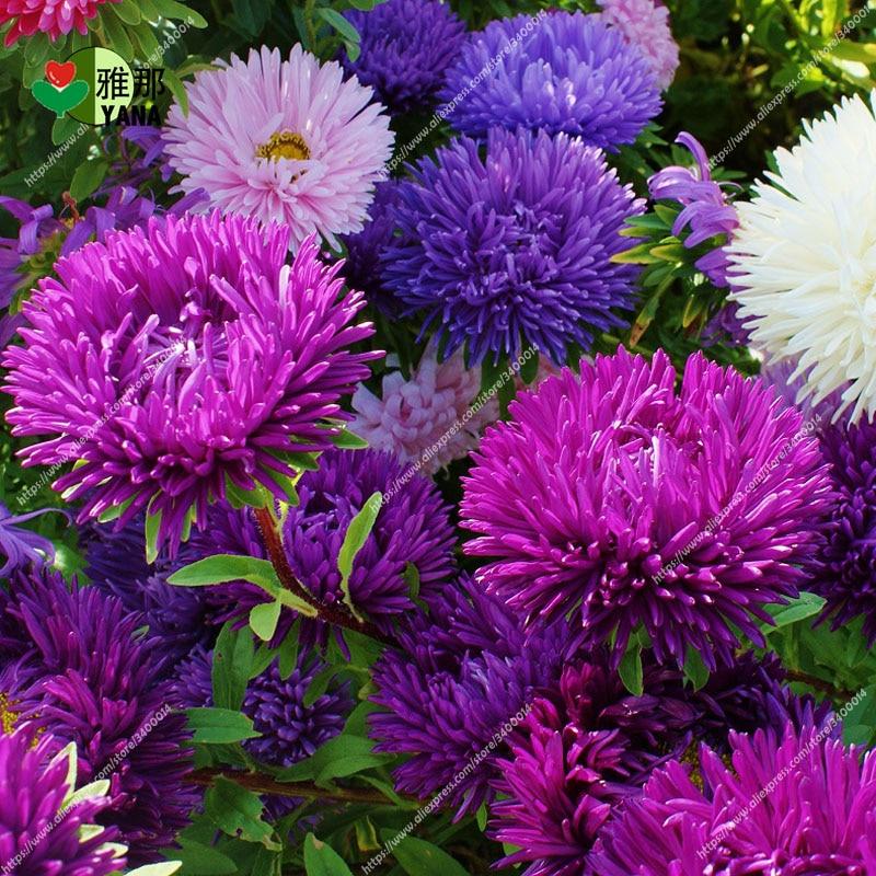 aster bonsai flower mix rainbow chrysanthemum Perennial flowers for home garden plant color 100 pcs/bag