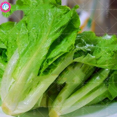 100pcs China Lettuce Seeds good taste,romaine lettuce seeds,easy to grow,delicious salad choice,DIY Home garden vegetable seeds