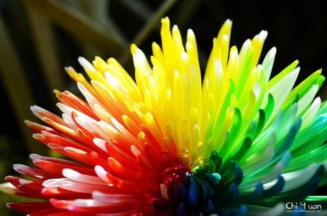 100pcs/bag rainbow daisy seeds,chrysanthemum seeds,bonsai flower seeds,beautiful potted plants for home garden,send gift 10 rose
