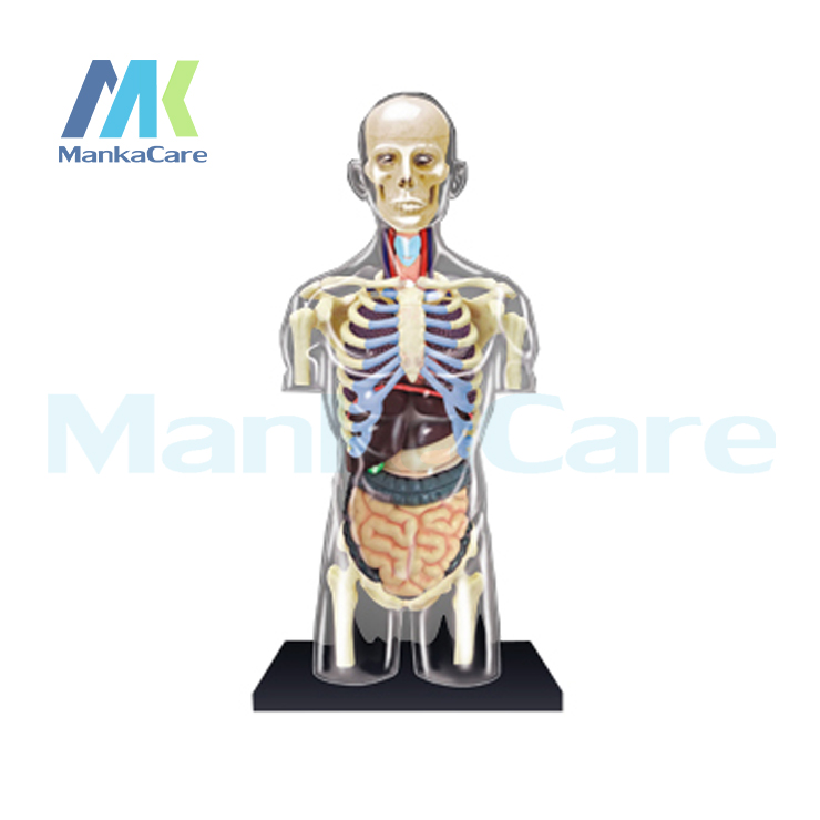 4d Master Human Body Transparent Anatomy Skull Manikin Heart Anatomy