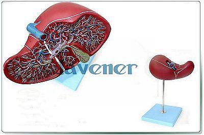 Magnify Human Anatomical Liver Gallbladder Anatomy Medical Model Digestive