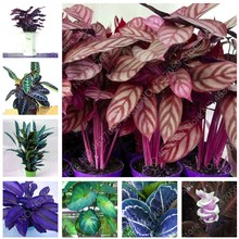 50 Pcs Rare America Calathea Air Freshening Plants Beautiful Flowers Indoor Office Desk Bonsai for Flower Garden Pot Ornaments(China)
