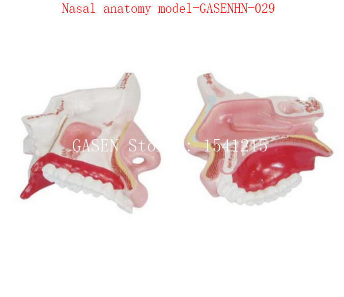Department Of Ent Nose Model Internal Structure Facial Anatomy Model