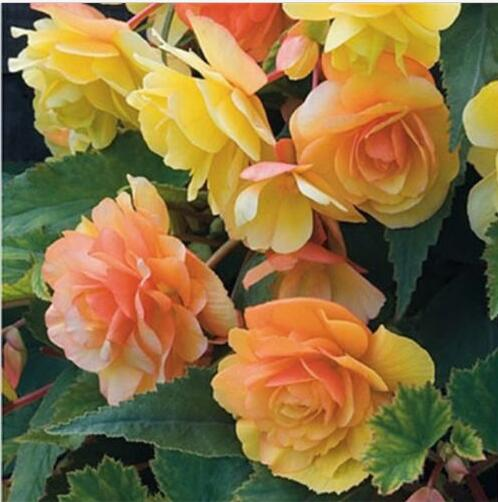 248af7ba5 50pcs Beautiful Begonia Flower bonsais Mix Colors Perennial Potted Bonsai  Garden