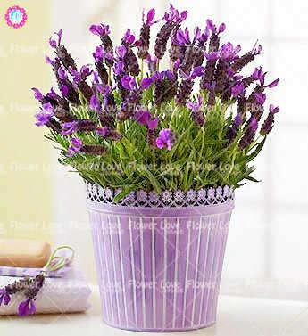 100 pcs Francês Provence Lavanda Perfumado Orgânica Lavanda Bonsai Planta Flor Para Casa Jardim vasos de plantas Plantio