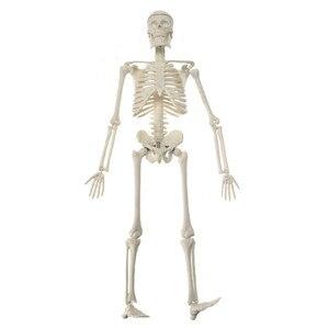 Image 4 - High Quality 45CM Human Anatomical Anatomy Skeleton Model Medical Learn Aid Anatomy human skeletal model Wholesale Retail