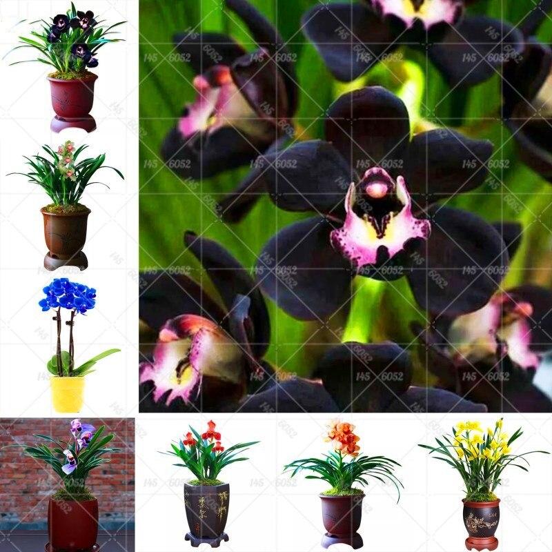 100 pc'er / taske Cymbidium dværg træer sort orkidé blomst Sjældne flerårige frø til indendørs orchis blomster indendørs planter ...