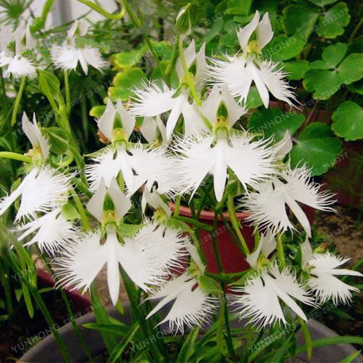 50 pcs japanese radiata seeds white egret orchid seeds worlds rare 50 pcs japanese radiata seeds white egret orchid seeds worlds rare orchid species white flowers orchidee garden home planting in bonsai from home garden mightylinksfo Image collections