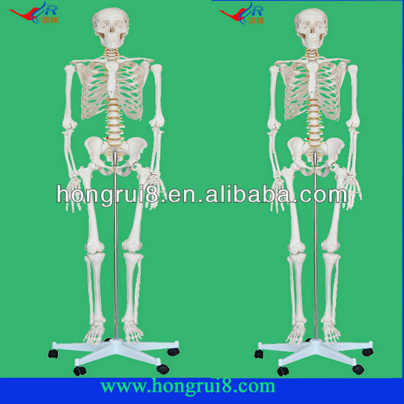 High quality Life-Size human Skeleton model 180cm Tall skeleton with muscles and ligaments 180cm tall the human skeleton with ligament model