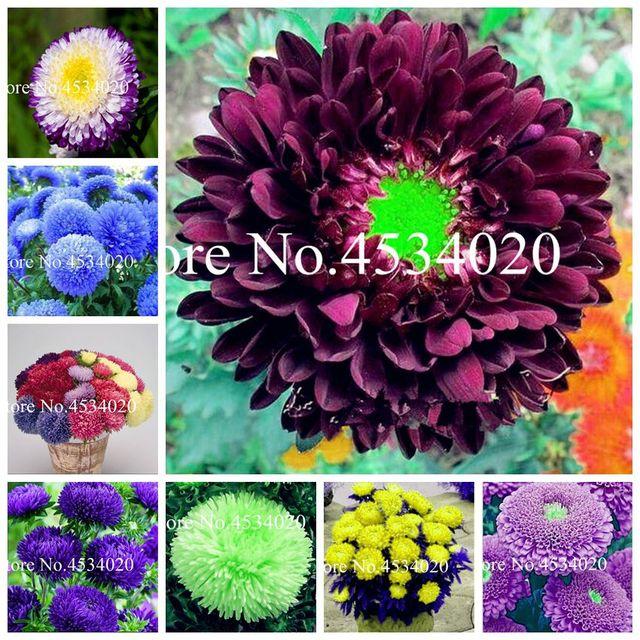 200 pz Aster bonsai fiore bonsai pianta del fiore arcobaleno crisantemo pianta P