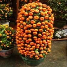 Kumquat tangerine planted citrus trees patio balcony orange ship potted fruit