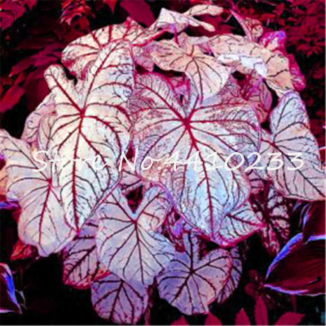 Vendita! 200 pz Colorato Caladium Nano Bonsai Pianta Bruciato Rosa Orecchio di Elefante Bella Bonsai Fiore In Vaso Piante Per Giardino di Casa