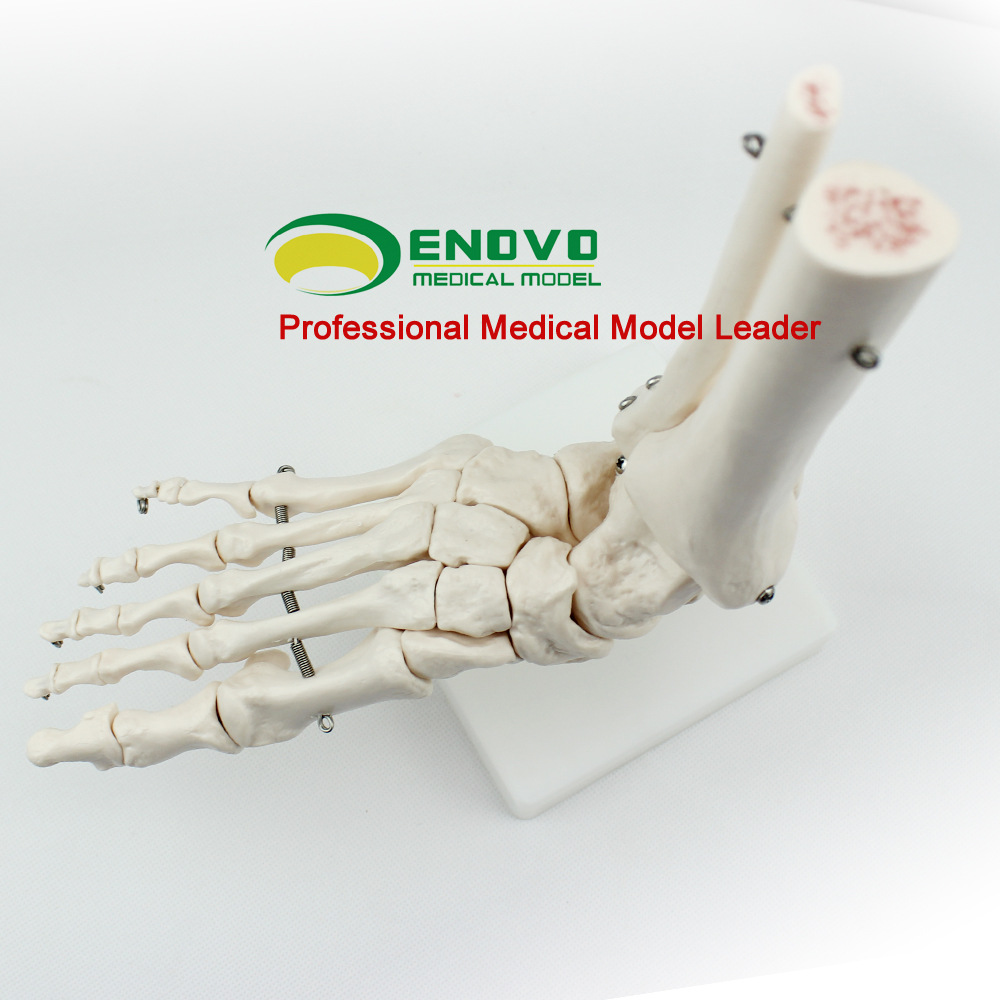 Ankle Joint Model Humerus Foot Bone Skeleton Model High Quality Medical Science Doctor Recommended sagitally section model about tissue decomposition model for doctor patient communication model with magnetic