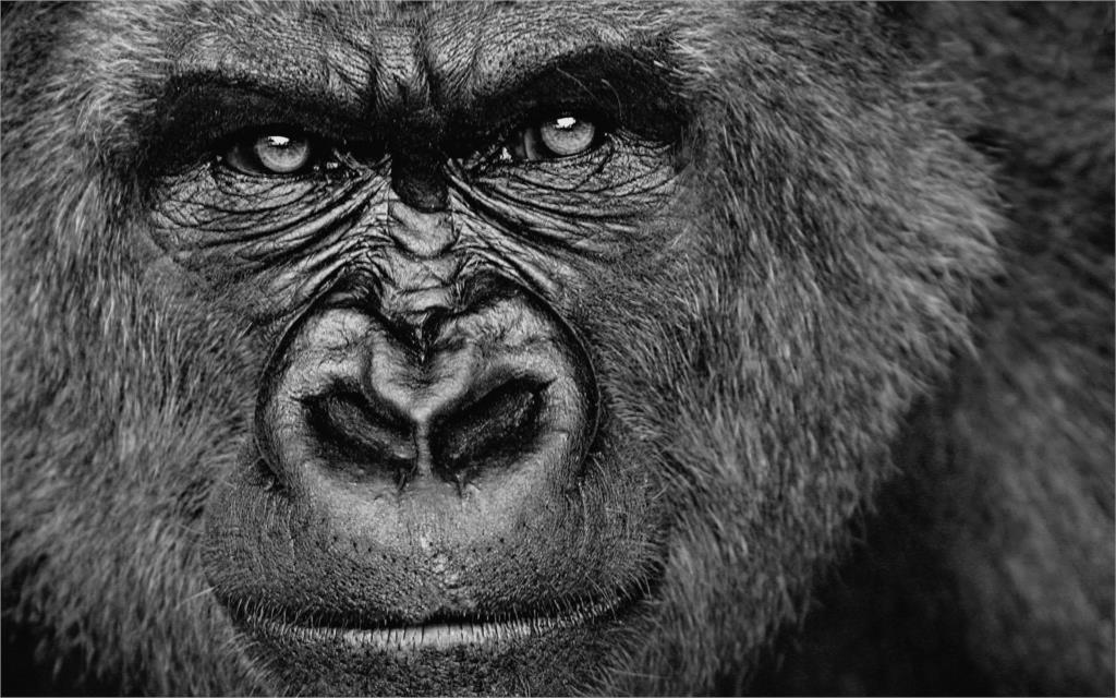 Animales gorila negro fresco cara retrato moderno decoración ARTE ...