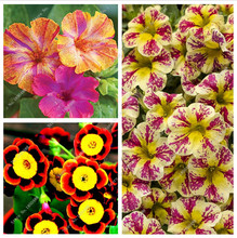 2016 New different colors petunia seeds home gardens, rare petunia seeds free shipping-100pcs