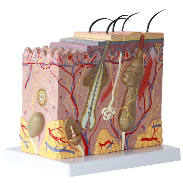 50x Skin Model Human Skin Anatomy Model Medical Cosmetic Plastic