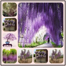 10Pcs Rare Wisteria Bonsai Mixed Color Flower Bonsai Wisteria Tree Bonsai Ornamental Plant Free delivery, easy to grow(China)
