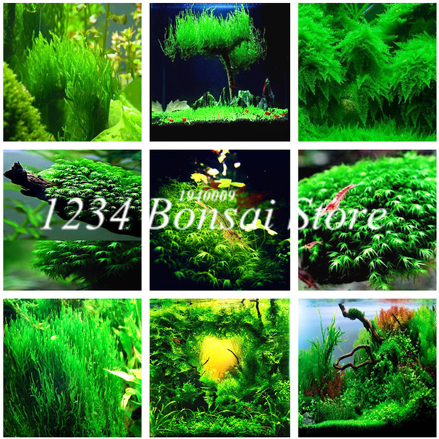 500 Pcs Aquarium Grass Plants Water Aquatic Plant bonsai Live Moss Gras Easy to Grow Fish Tank Landscape Decoration Ornaments