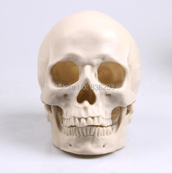 Cráneo humano resina Replica modelo médico Lifesize anatomía ...