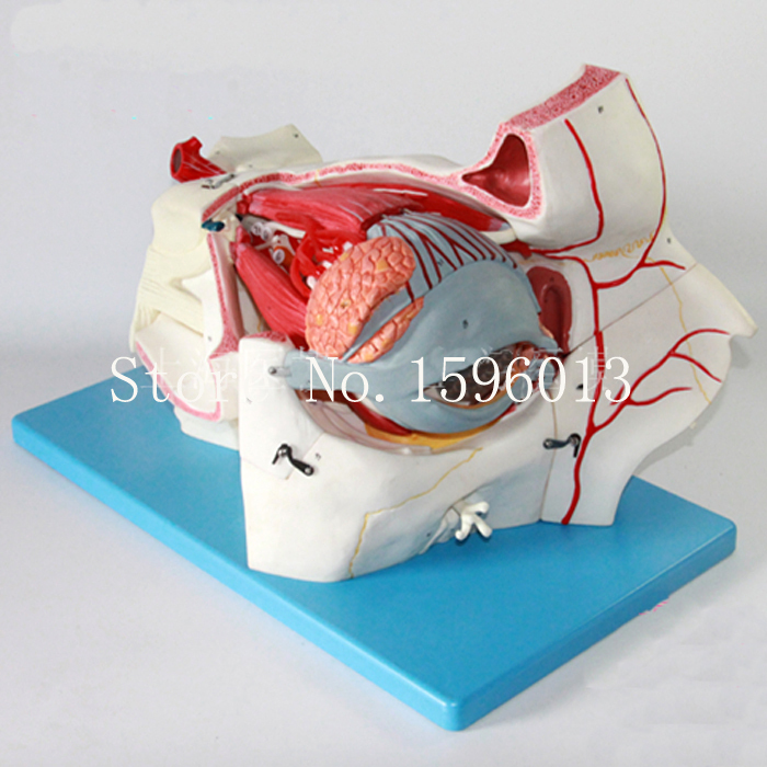 Advanced Eyeball and Orbit with Vessels and Nerves model, Eye Anatomical Model iso detailed anatomical model of human head with vessels and nerves