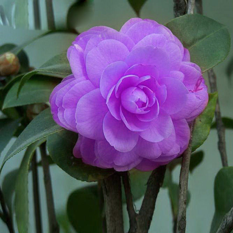 120pcs Purple Camellia Seeds Potted DIY Home Garden Flower Seeds Outdoor Potted Ornamental Plants