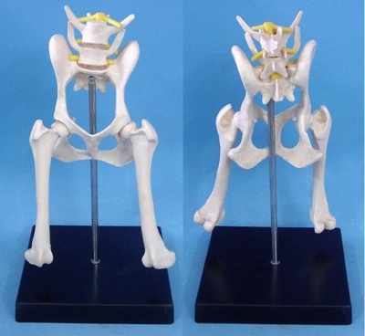 dog Lumbar hip joint model Animal anatomy model Veterinary appliances free shipping