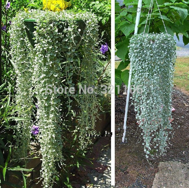 100 Dichondra Repens Lawn Seed Dichondra Repens   Excellent Ground Cover  Hanging Decorative Garden Seeds Free