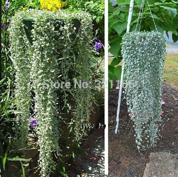 100 semillas de csped dichondra repens dichondra repens una excelente cobertura del suelo colgando decorativo - Plantas Colgantes Exterior