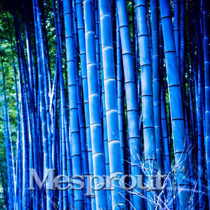 Rare Blue Bamboo, 50 Seeds, Beautiful Outdoor Garden perennial plants seeds, light up your garden Diy home garden