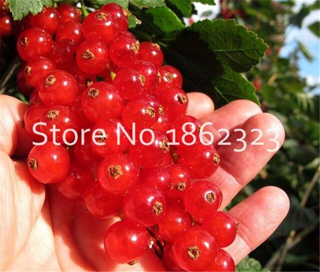 100 pz Physalis peruviana Delizioso Frutto D'oro Berry bonsai Cinese In Strada di Uva Spina di Piante Bonsai Pianta Facile Grow albero da Frutto