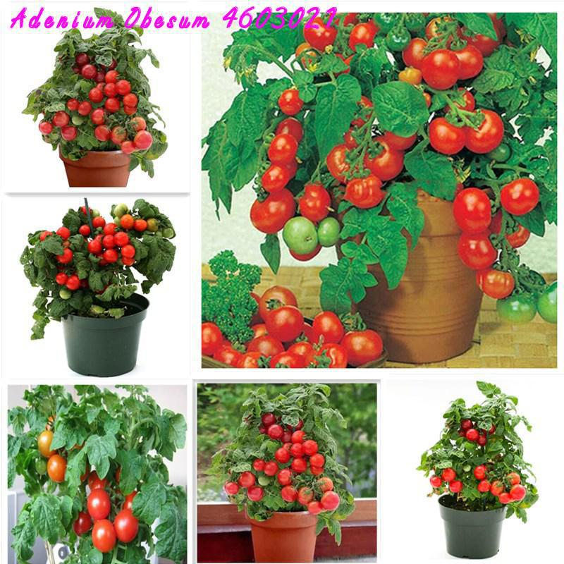 2019 Big Promotion ! 200 Pieces / Bag Dwarf Potted Tomato Sweet And Delicious Non-GMO Edible Vegetable Garden Plant Balcony