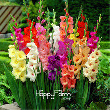 Buy flowers gladiolus and get free shipping on AliExpress com Cut Gladiolus Bonsai Flower Garden Perennial Potted Plants Indoor Aerobic Gladiolus  Flower Plantas