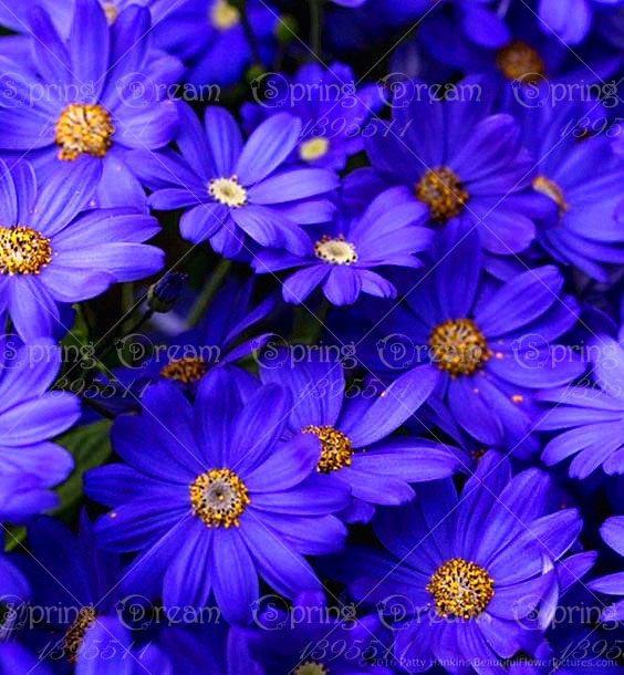 aliexpress  buy pcs/bag aster seeds purple aster flower, Beautiful flower
