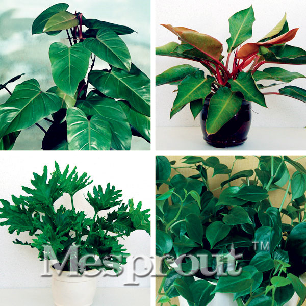 100 genuine rare 100pcs 10kinds mix philodendron seeds vine leaf indoor plants anti radiation - Five indoor plants that absorb humidity ...