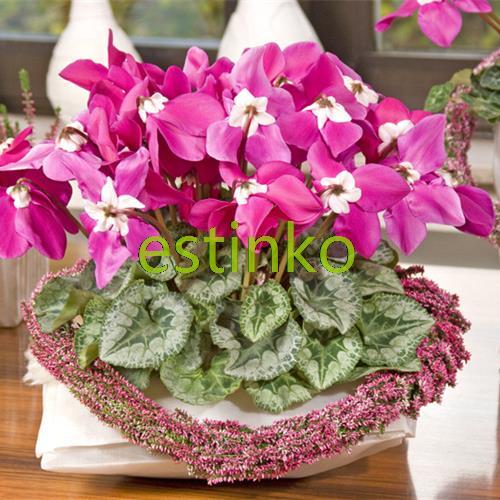 Cyclamen persicum promotion achetez des cyclamen persicum - Arrosage cyclamen en pot ...