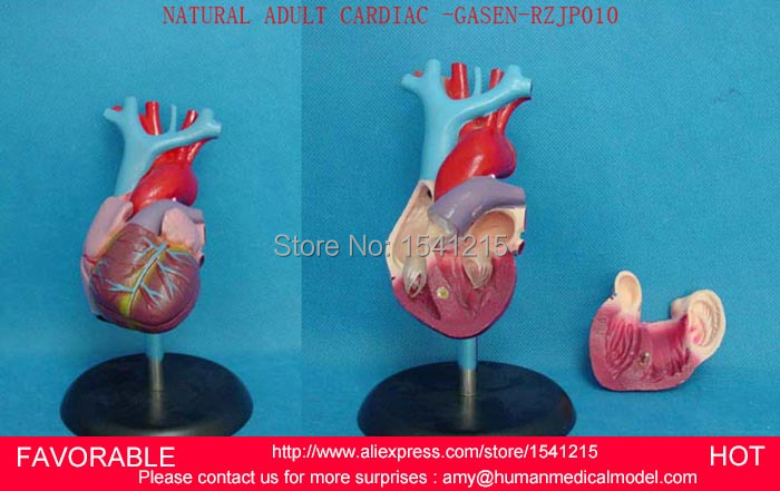 HUMAN ANATOMY MODEL,ADULT NATURAL HEART,ADULT HEART MODEL,HEART ANATOMICAL MODEL,MAGNIFIED HEART ANATOMICAL MODEL-GASEN-RZJP010