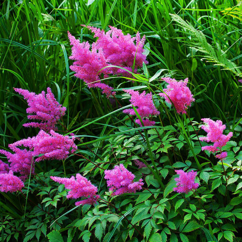 Hot Sale Rare Purple Astilbe Chinensis Seeds Balcony Garden Patio Potted Bonsai Plants Chinese Astilbe Flower Seeds 120PCS