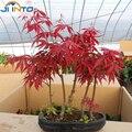 10 Мини Красивые Японские Семена Красный Клен Бонсай, DIY Бонсай, СВЕЖИЕ СЕМЕНА КЛЕНА, бесплатная доставка
