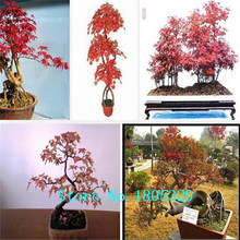 "50 PCS Purple Maple Seeds Rare in The World Canada is a Beautiful Purple Maple Bonsai Plants Tree seeds ""Purple Ghost""(China)"