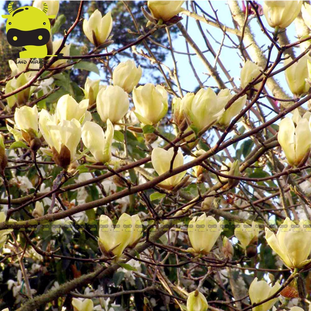 Rare chinese yellow river magnolia flower tree plant seeds for In a garden 26 trees are planted