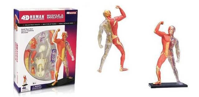 aliexpress : buy 4d plastic human body educational assembling, Muscles