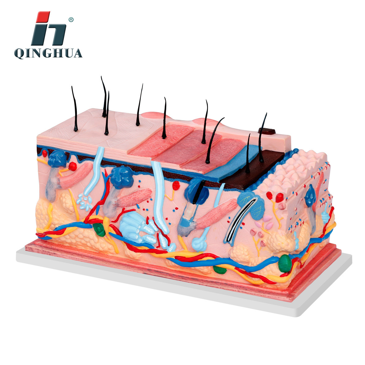 Skin Structure Model With Pores With Hair Biology Teaching Demonstration Medical Science clock table model teacher demonstration with primary school mathematics science and education equipment three needle linkage