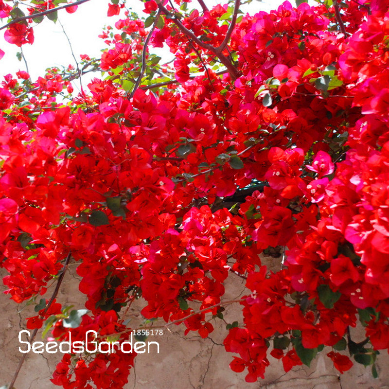Loss Promotion!100 PCS / Bag Red Bougainvillea Spectabilis Seeds Perennial  Bonsai Plant Seeds Bougainvillea Flower Seeds,#MBVTF6 In Bonsai From Home  ...