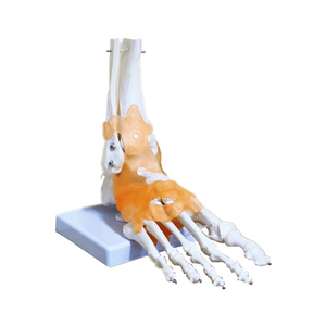 Image 5 - 23x21x11cm Human 1:1 Skeleton Ligament Foot Ankle Joint Anatomi cal Anatomy Medical Teaching Model