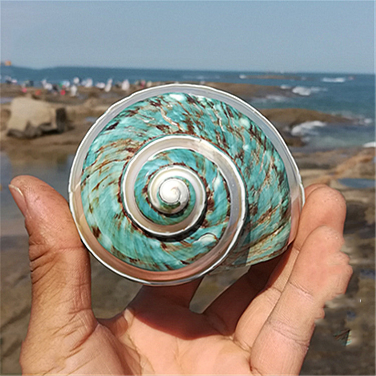 Aqumotic Sea Green Snail 1pc Fish Aquarium Decoration Dry Kid Aquarium Decor Mediterranean Organic Material Small Shell